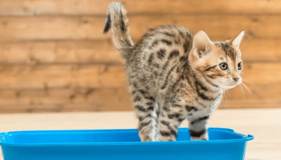 How To Train A Cat To Use A Litter Box?